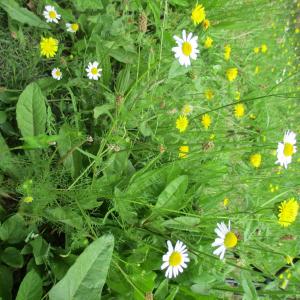Photographie n°2437987 du taxon Tripleurospermum inodorum (L.) Sch.Bip. [1844]