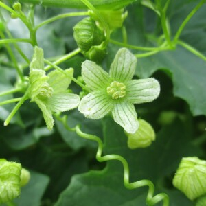 Photographie n°2437991 du taxon Bryonia dioica Jacq. [1774]