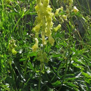 Photographie n°2438210 du taxon Aconitum vulparia Rchb. [1819]