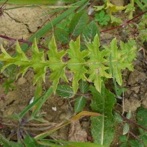 Photographie n°2438275 du taxon Carduus crispus subsp. multiflorus (Gaudin) Franco [1975]