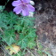 Geranium malviflorum Boiss. & Reut. [1852] [nn143747] par Walid Nemer le 22/06/2018 - Aït Boumahdi