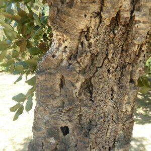 Photographie n°2438954 du taxon Quercus suber L. [1753]
