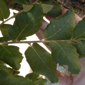 Photographie n°2438955 du taxon Quercus suber L. [1753]
