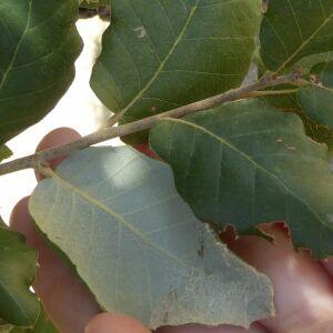 Photographie n°2438956 du taxon Quercus suber L. [1753]