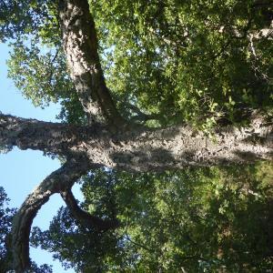Photographie n°2438957 du taxon Quercus suber L. [1753]
