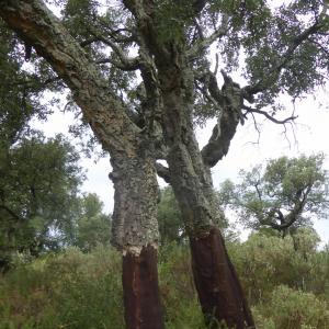 Photographie n°2438960 du taxon Quercus suber L. [1753]