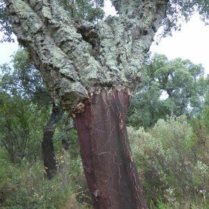 Photographie n°2438961 du taxon Quercus suber L. [1753]