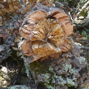 Photographie n°2438963 du taxon Quercus suber L. [1753]
