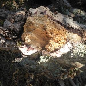Photographie n°2438964 du taxon Quercus suber L. [1753]