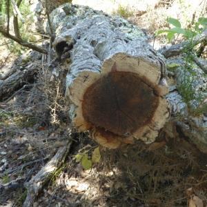 Photographie n°2438965 du taxon Quercus suber L. [1753]