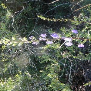 Photographie n°2438979 du taxon Aconitum napellus L. [1753]
