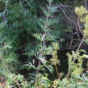 Photographie n°2438980 du taxon Aconitum napellus L. [1753]