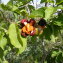 Casearia tremula (Griseb.) Griseb. ex C. Wright [nn1896] par Deglupta le 25/07/2019 - Sainte-Anne