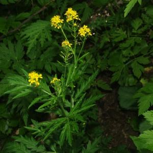 Photographie n°2439229 du taxon Descurainia tanacetifolia subsp. tanacetifolia