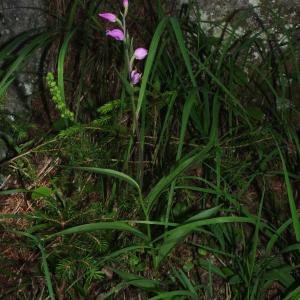 Photographie n°2439279 du taxon Cephalanthera rubra (L.) Rich. [1817]