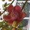 Couroupita guianensis Aubl. [nn2889] par Pascal MEDEVILLE le 02/08/2020 - Sangkat Tonle Bassac