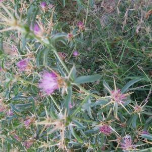 Photographie n°2439596 du taxon Centaurea calcitrapa L. [1753]