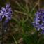 Scilla autumnalis subsp. autumnalis L. [nn160414] par Walid Nemer le 27/04/2017 - Akbil