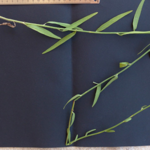 Photographie n°2439988 du taxon Chondrilla juncea L. [1753]
