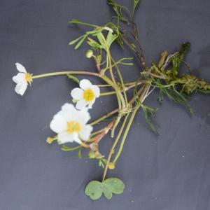 - Ranunculus tripartitus DC. [1807]