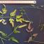 Torilis arvensis (Huds.) Link [1821] [nn68554] par Jean-Claude Bouzat le 21/07/2020 - Condorcet