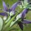 Swertia perennis L. [1753] [nn66585] par Mathieu Sinet le 08/08/2020 - Mijanès