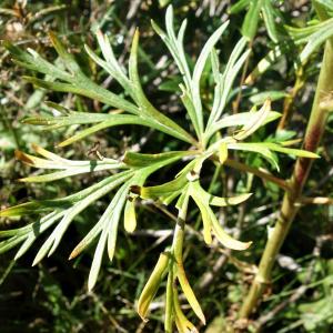 Photographie n°2440611 du taxon Aconitum napellus L. [1753]