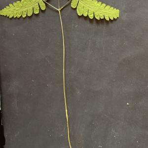 Photographie n°2440629 du taxon Gymnocarpium dryopteris (L.) Newman [1851]