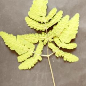 Gymnocarpium disjunctum (Rupr.) Ching (Polypode dryoptère)
