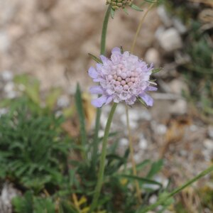 Photographie n°2440668 du taxon Scabiosa columbaria L.
