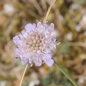 Photographie n°2440669 du taxon Scabiosa columbaria L.