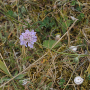 Photographie n°2440670 du taxon Scabiosa columbaria L.