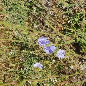 Photographie n°2440992 du taxon Cichorium intybus subsp. intybus