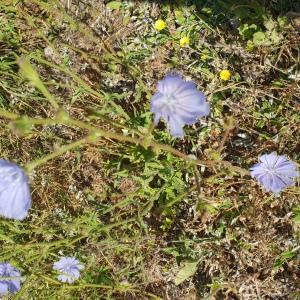 Photographie n°2440993 du taxon Cichorium intybus subsp. intybus