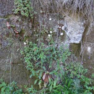 Photographie n°2441239 du taxon Silene latifolia subsp. alba (Mill.) Greuter & Burdet [1982]