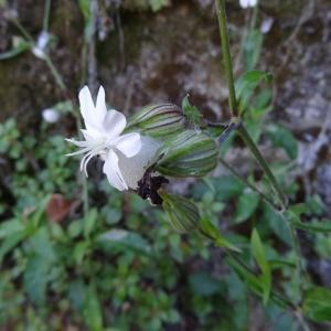 Photographie n°2441242 du taxon Silene latifolia subsp. alba (Mill.) Greuter & Burdet [1982]