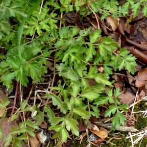 - Xanthoselinum alsaticum subsp. alsaticum