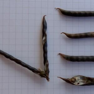 Photographie n°2441524 du taxon Vicia segetalis Thuill. [1799]