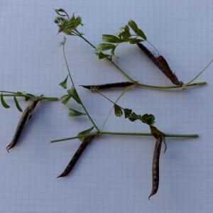 Photographie n°2441526 du taxon Vicia segetalis Thuill. [1799]