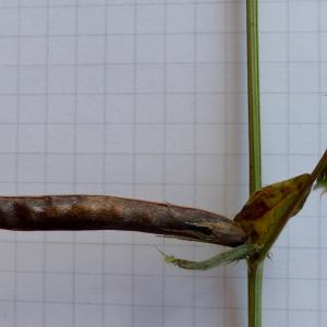 Photographie n°2441527 du taxon Vicia segetalis Thuill. [1799]