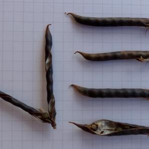 Photographie n°2441528 du taxon Vicia segetalis Thuill. [1799]