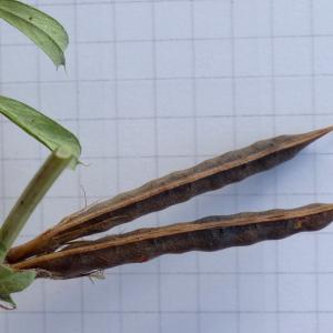Photographie n°2441529 du taxon Vicia segetalis Thuill. [1799]
