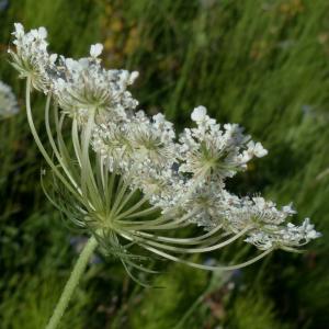 Photographie n°2441548 du taxon Daucus carota subsp. carota