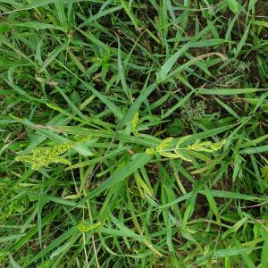 Photographie n°2441637 du taxon Echinochloa crus-galli (L.) P.Beauv. [1812]