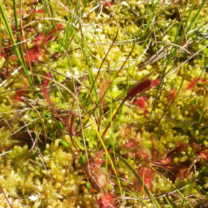 Photographie n°2441768 du taxon Drosera anglica Huds. [1778]
