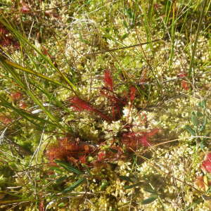Photographie n°2441771 du taxon Drosera anglica Huds. [1778]