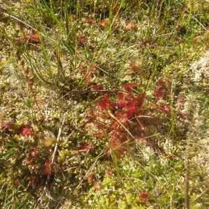 Photographie n°2441772 du taxon Drosera anglica Huds. [1778]