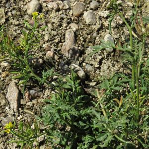 Photographie n°2441810 du taxon Rorippa sylvestris (L.) Besser [1821]