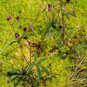 Photographie n°2441890 du taxon Comarum palustre L. [1753]