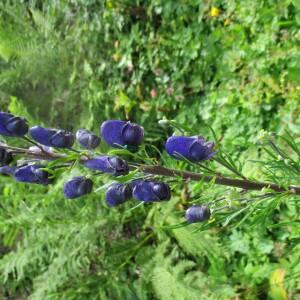 Photographie n°2442219 du taxon Aconitum napellus L. [1753]